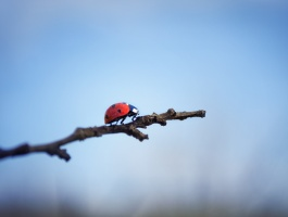 Ladybird on a branch