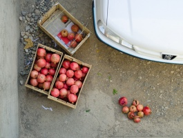 Pomegranate picking season / Collection