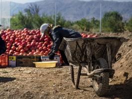 Pomegranate picking season
