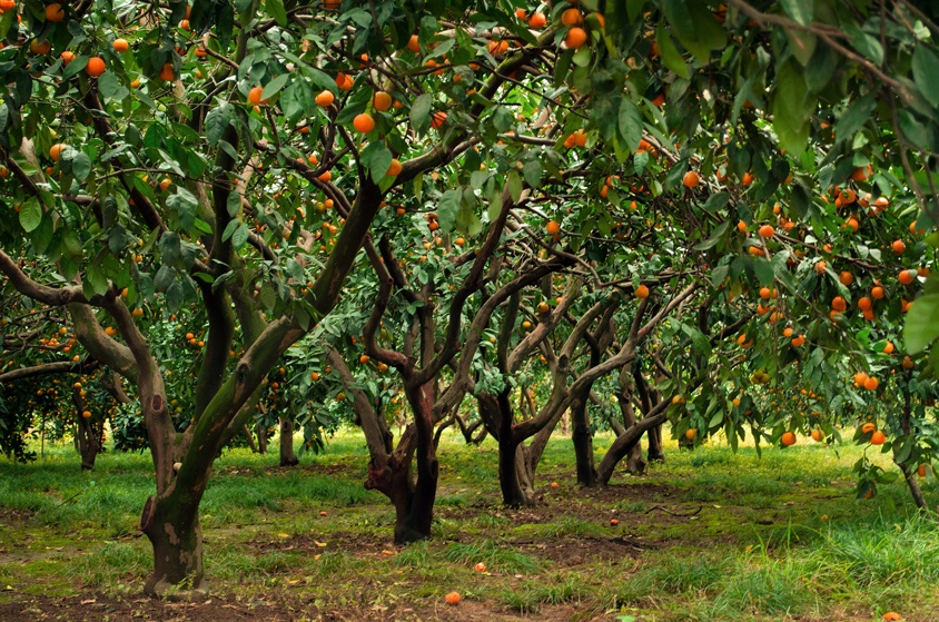 Citrus groves in Mazandaran province
