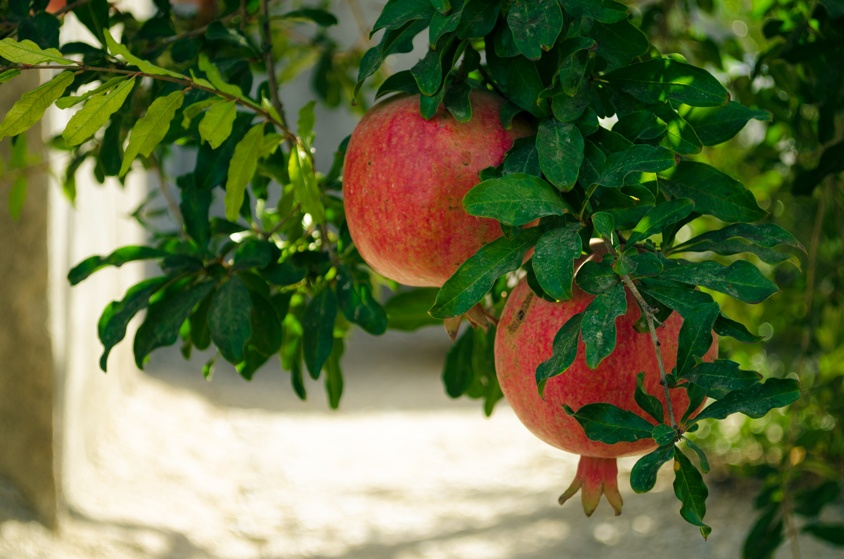 Pomegranate picking season