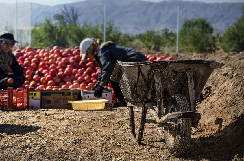 Pomegranate picking season, Wheelbarrow
