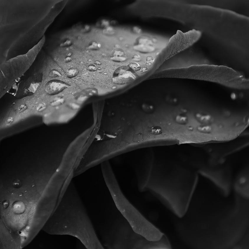 Dew on rose, Dew on plants