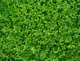 Dew on the grass, wet grass