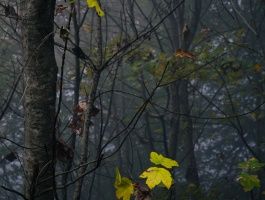 Yellow leaf, Deciduous