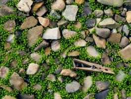 Grass grow through gravel