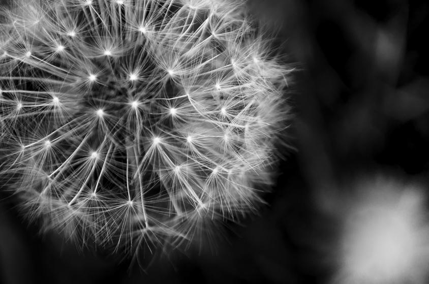 Dandelion flower, Taraxacum