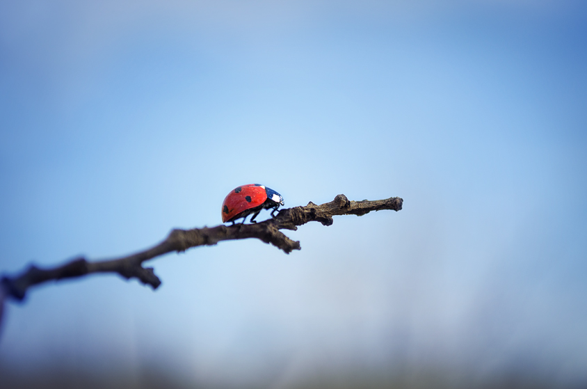 Ladybird on a branch